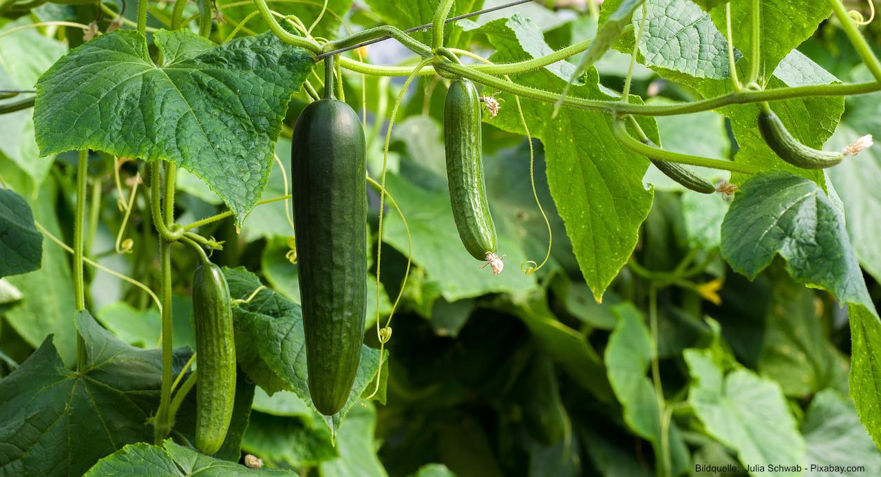 Gurken pflanzen - Anbau und Ernte im eigenen Garten