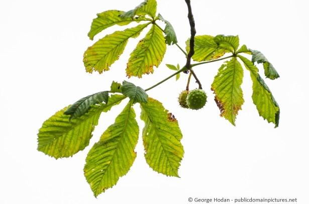 Die Blätter der Kastanie
