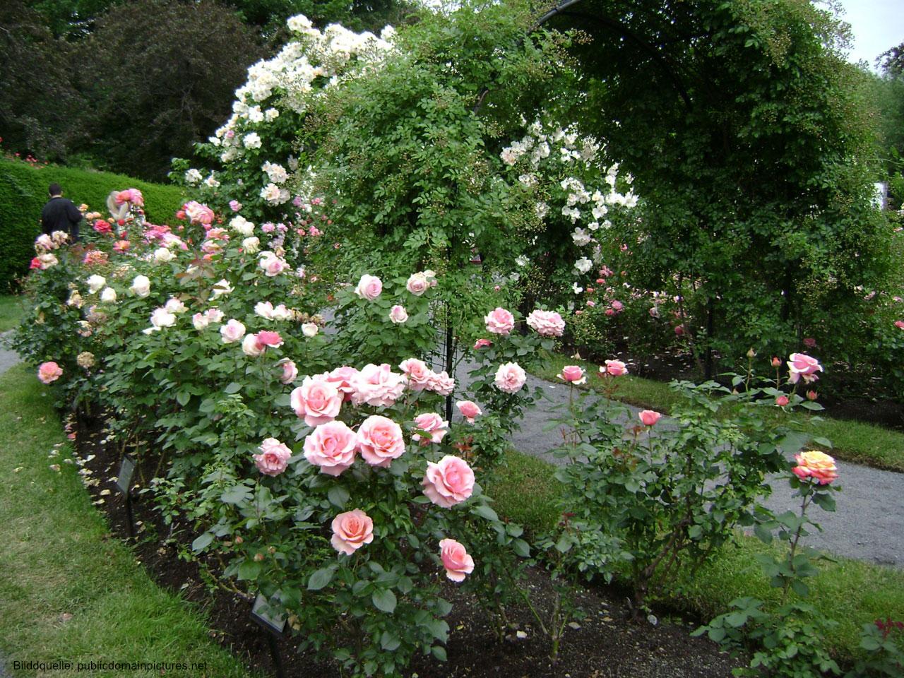 Rosen blühen prächtig, Rosen vermehren